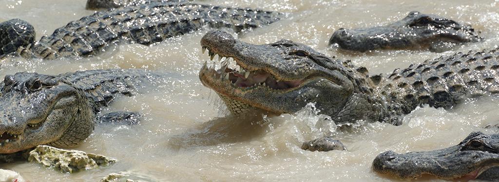 Ferme-alligator