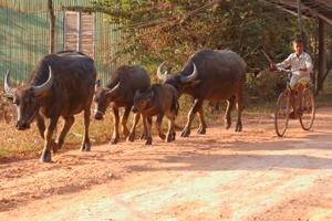 Cambodge-buffles