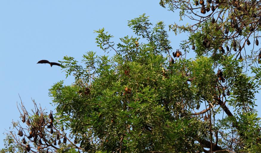 cambodge-chauves-souris