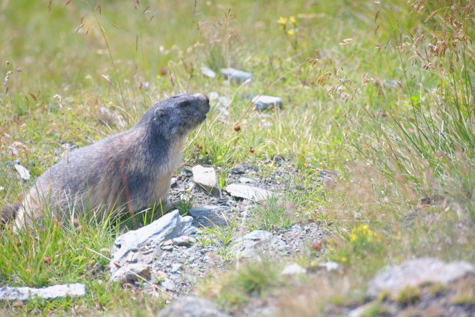 GROSSGLOCKNER-marmotte