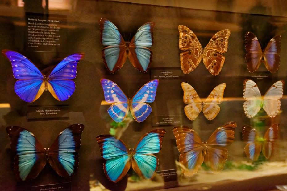 Vienne-Museum-histoire-naturelle-papillons