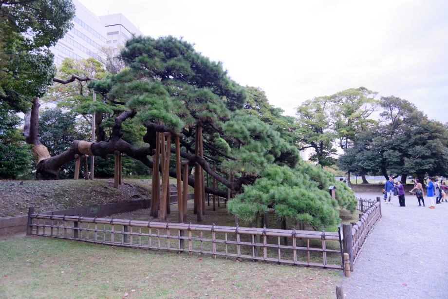 Arbre de 300 ans au jardin Hama-Rikyu