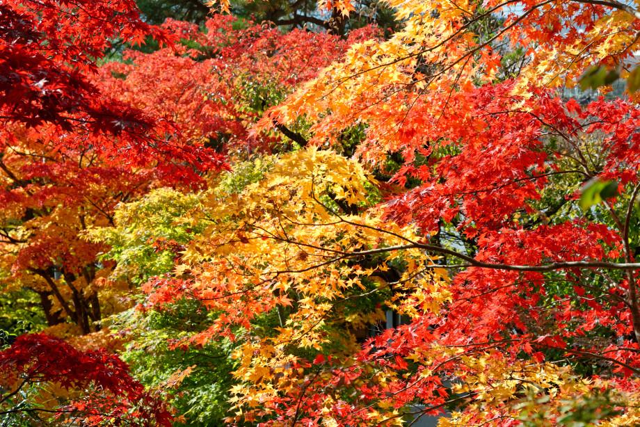 Erables près du temple Daioji à Takayama